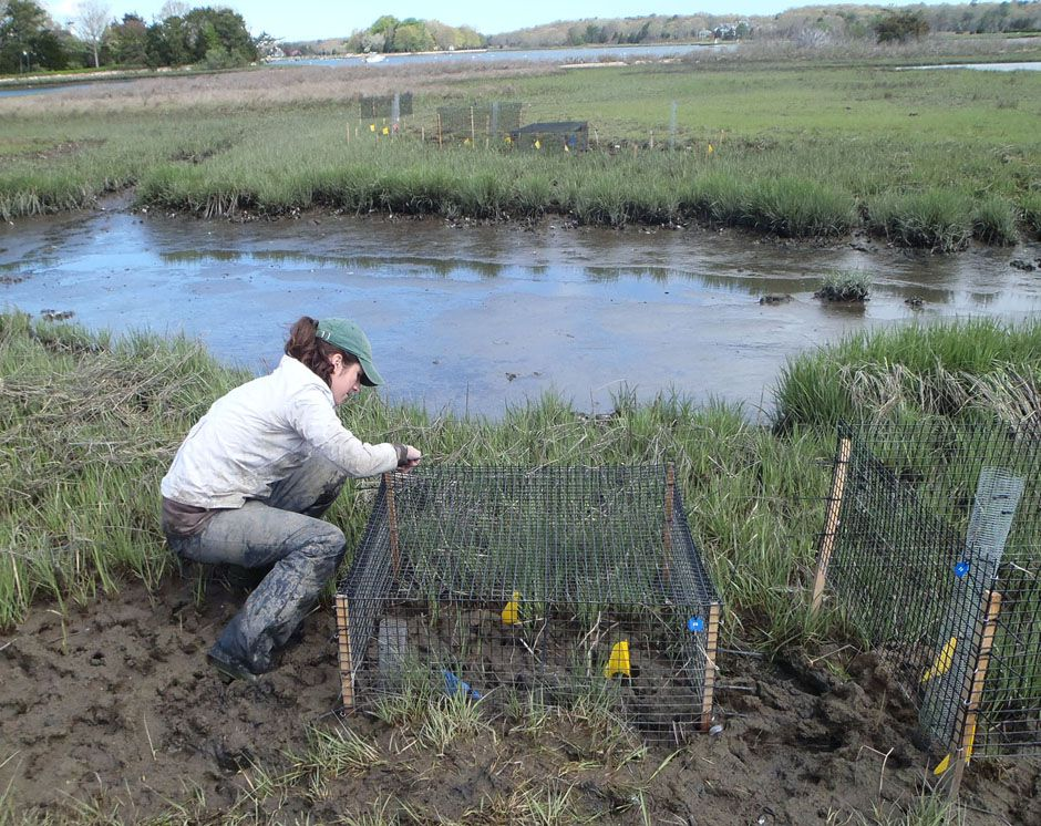 What's killing the coastal saltmarshes of Southern New England