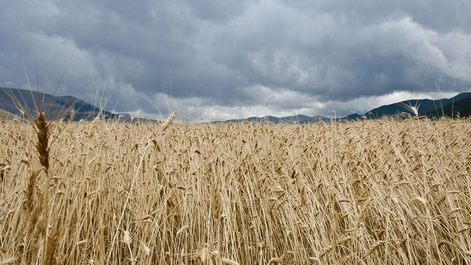 Adaptation Strategies Needed to Stem European Cereal Yield Loss
