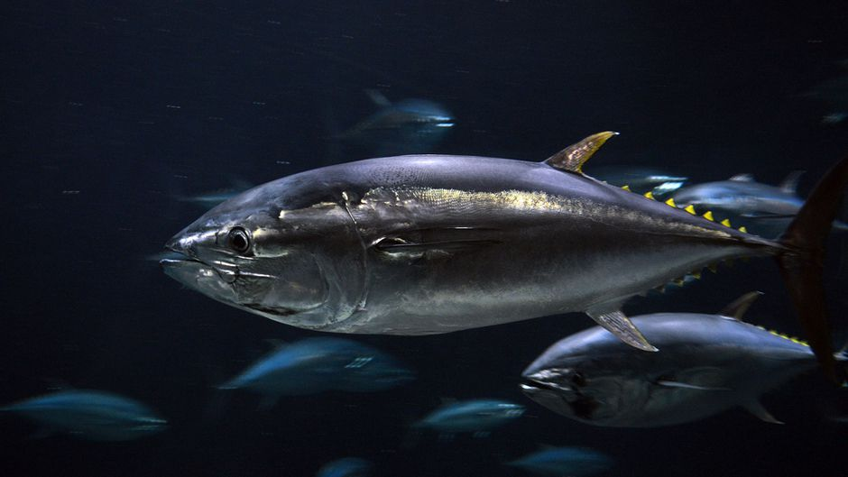 Bluefin Tuna Found in Arctic Climate Change Altering Food Webs
