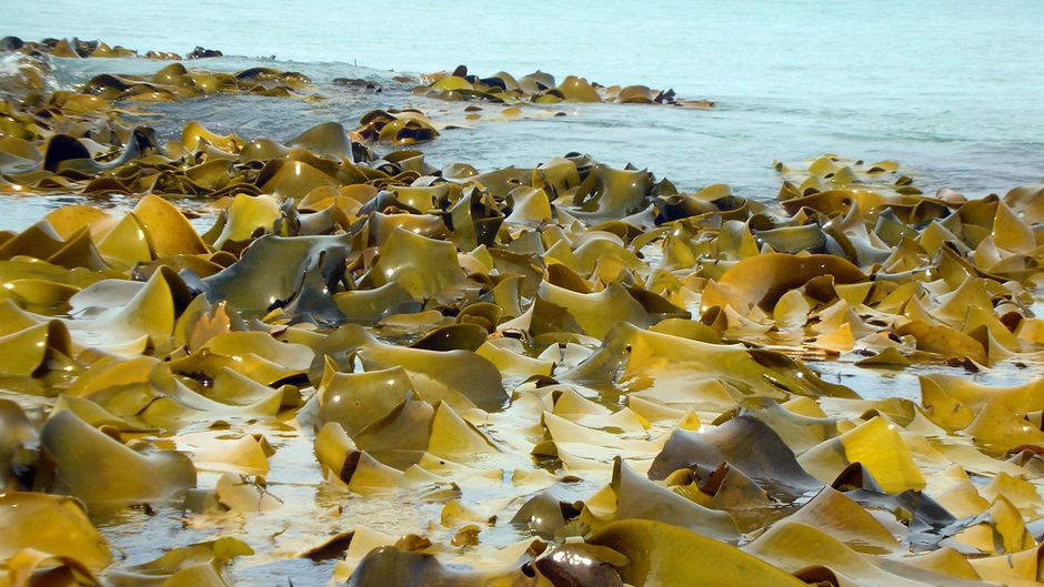 Seaweed Problem Could Provide Energy Solution