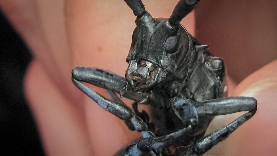 Asian Longhorned Beetle. Photo: Jenn  Forman Orth.