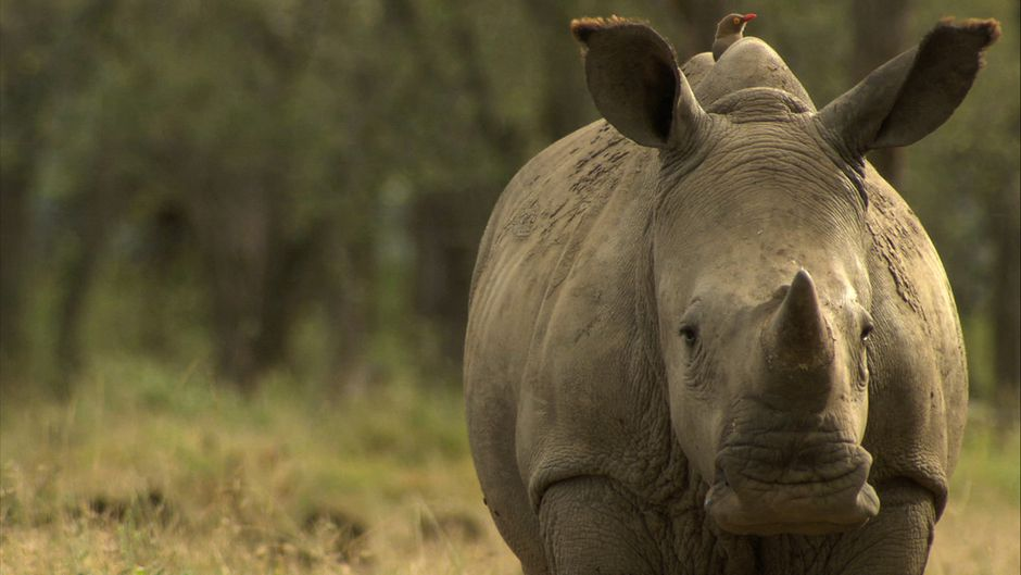 According to CITES, 1,215 rhinos were poached in South Africa alone in 2014 — this translates to one rhino killed every eight hours. Photo: Earth Touch. Creative Commons BY-NC-SA (cropped).