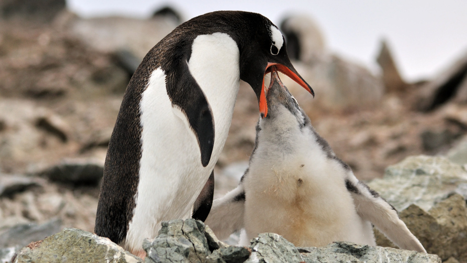 A penguin feeding its young