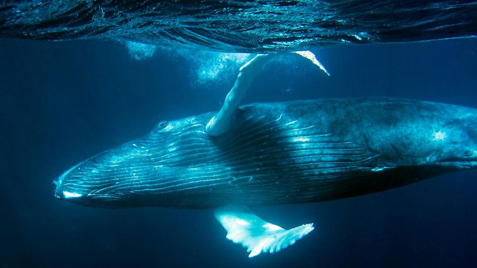 Humpback swims on side
