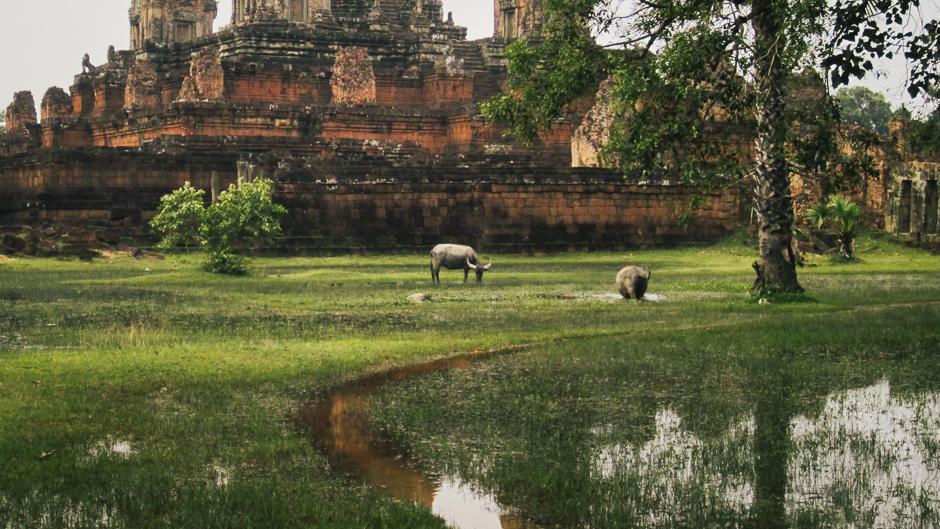 Water Buffalo at Angkor Wat