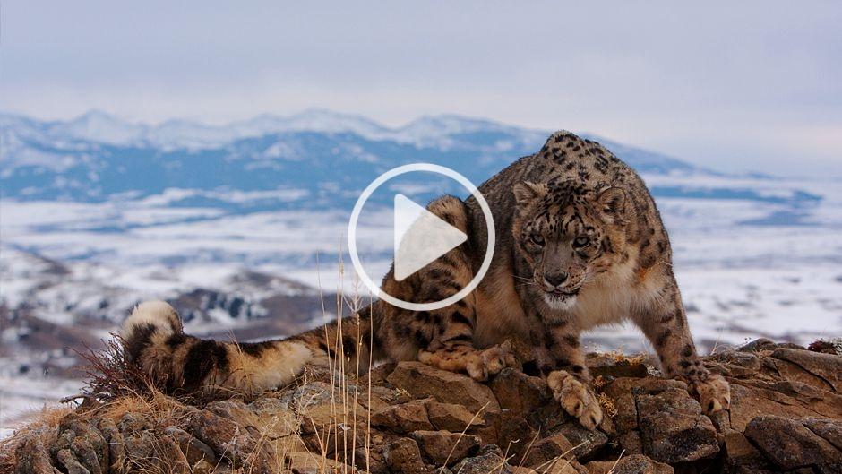 What Do Snow Leopards Eat