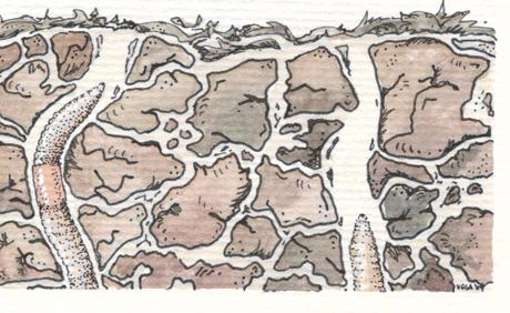 Lumbricus terrestris. Earthworm. Pen and watercolours. Illustration: NorArte.