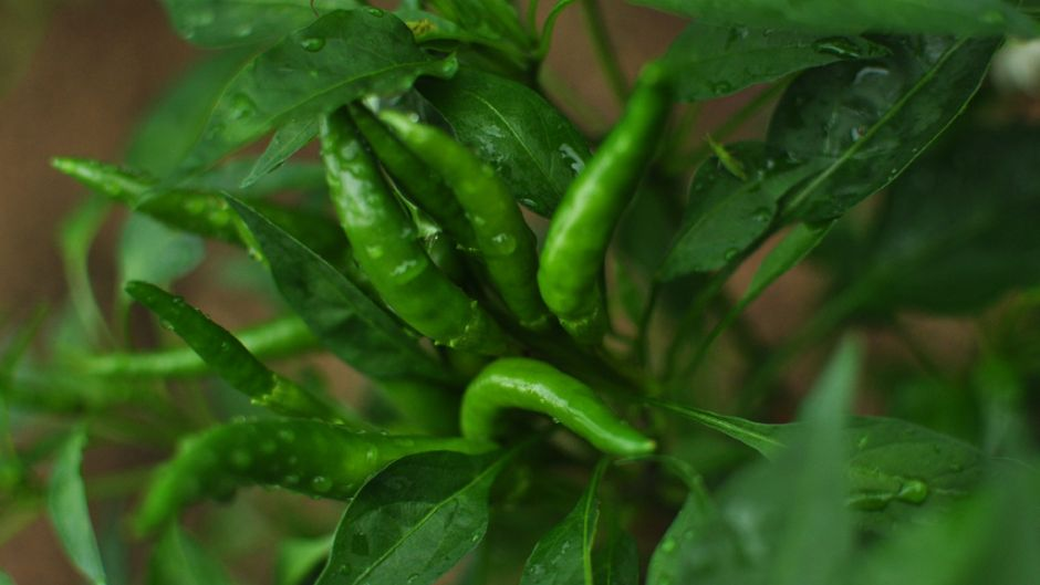 Green chilis, and if you look closely, a small green friend. Photo: Alva Lim.