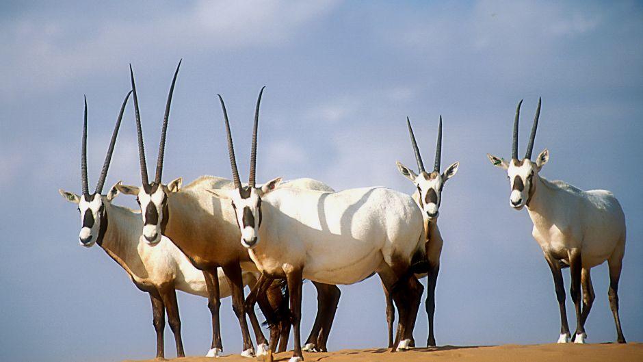 Arabian Oryx_Oryx leucoryx_David Mallon