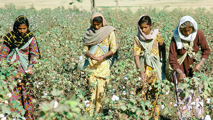 Monsanto's cotton strategy wears thin