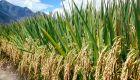 SRI hybrid rice field