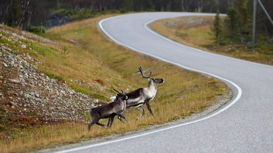 In Finnish Lapland, reindeer no longer roam freely, having to navigate their way throughout the growing network of primary and secondary roads. (Photo by Gleb Raygorodetsky.)