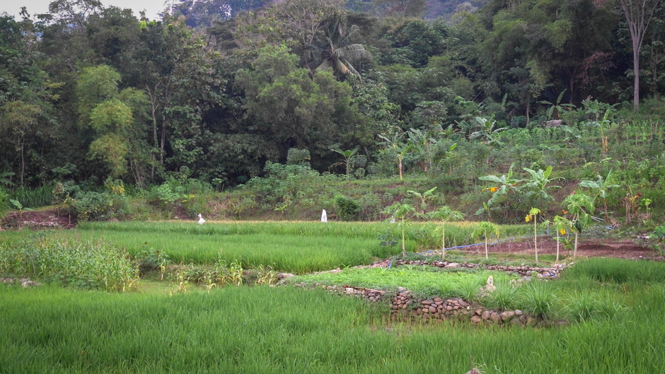 Indonesia homegarden and rice paddy.