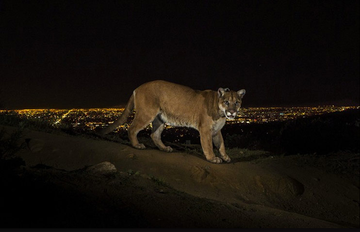 A cougar walking a trail in Los Angeles' Griffith Park