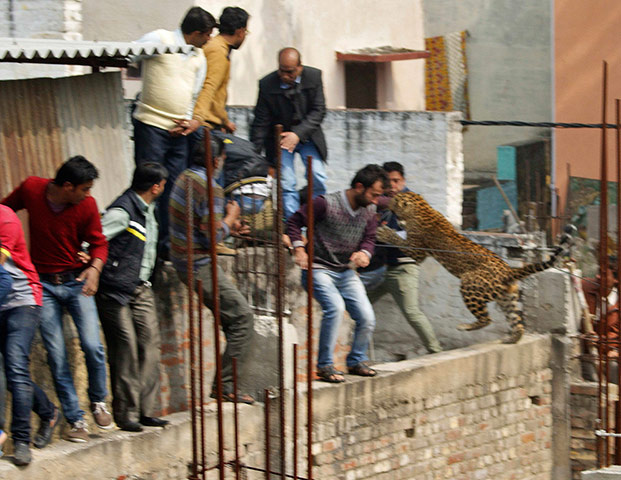 A leopard jumps at people in Meerut