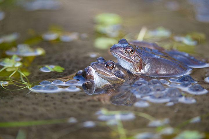 Common frogs (Rana temporary) spawning