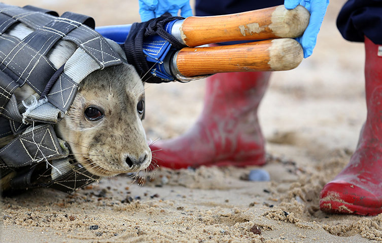 Orphaned seal pups released