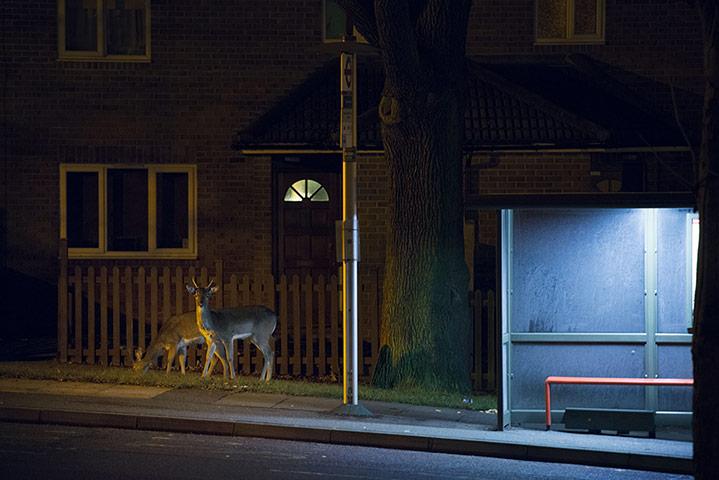 Photographer documents London's urban deer