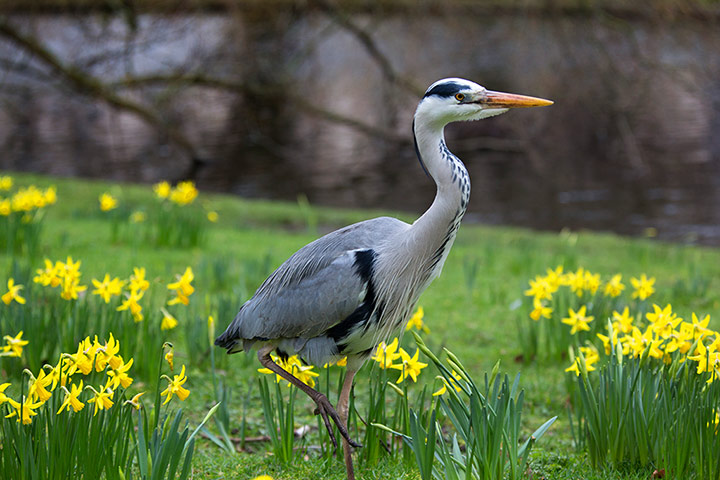 Spring in Regent's Park, London. A heron walks among narcissus. Photograph: Graham Turner for The Guardian.