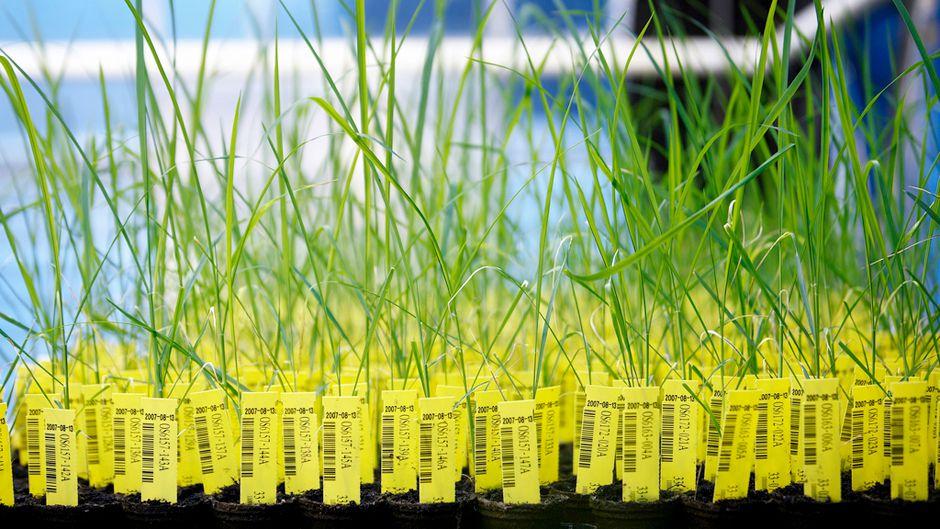遺伝子組み換え作物は生き残りの手段