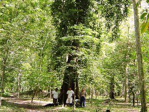 ラモンの木はクワ科に属する巨木であり、中南米全域、メキシコ、カリブ海域の海抜1500メートル以内の乾燥地帯、季節的に乾燥する地帯、湿地、拠水林に生息している。写真: Maya Nut Institute