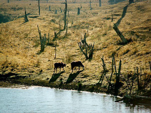 牛のための牧草地が熱帯雨林を急速に脅かしている。写真:ジョナサン・ナルダー