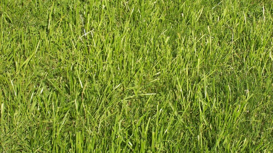 An Urban Wastewater Solution - African Vetiver Grass