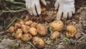 Yuchi Potato, Hokkaido