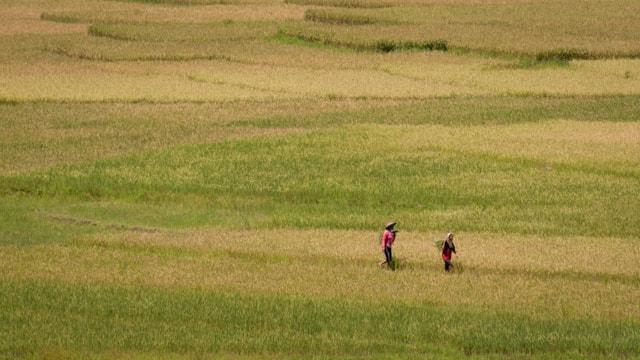 East Nusa Tenggara rice paddies
