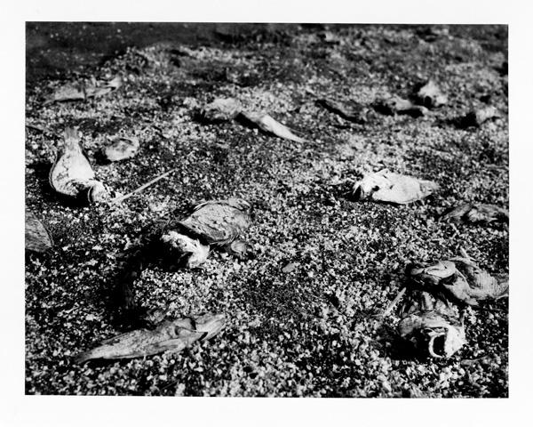 Salton sea fish