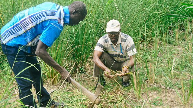 UNU-INRA researchers uprooting Vetiver grass for studies. Photo: Gessesse Dessie, UNU-INRA.