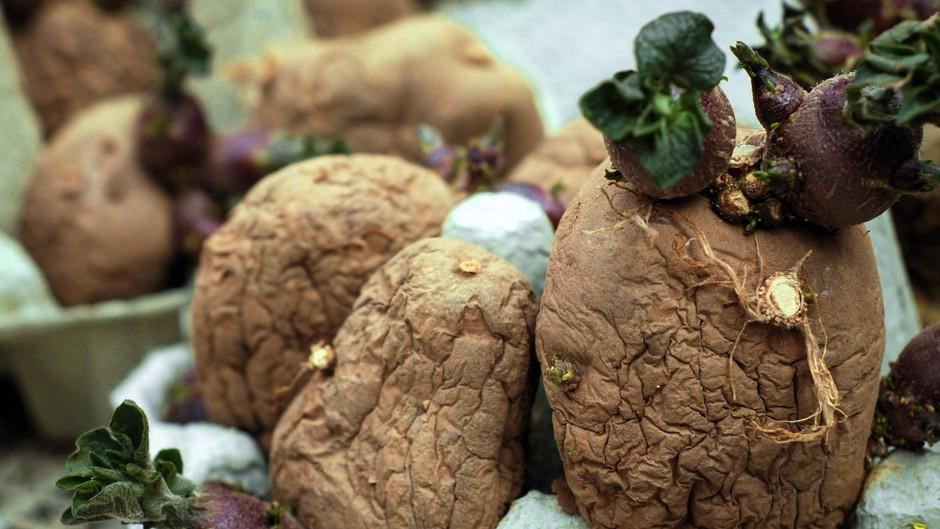 tasmanias-potato-protectors