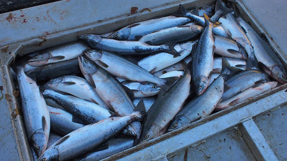 Acidic Oceans and the Coming Trouble with Fish