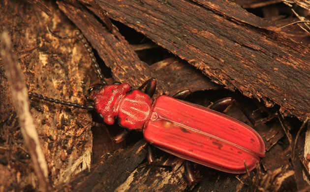 The flat bark beetle (Cucujus cinnaberinus), which lives under the bark of dead and live trees in central and Eastern Europe, is listed as vulnerable by the IUCN. Photograph: Nicolas Gouix and Hervé Brustel/IUCN