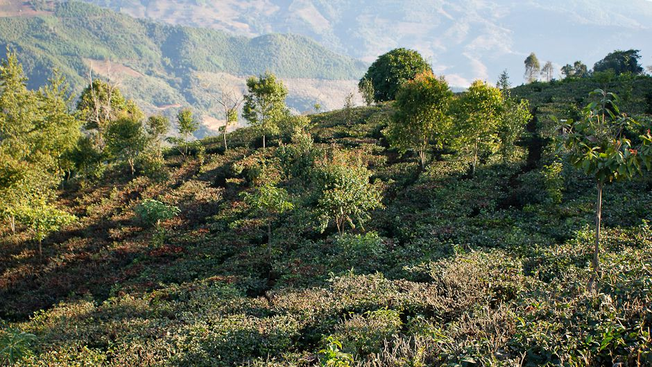 the-tea-forests-of-yunnan-10