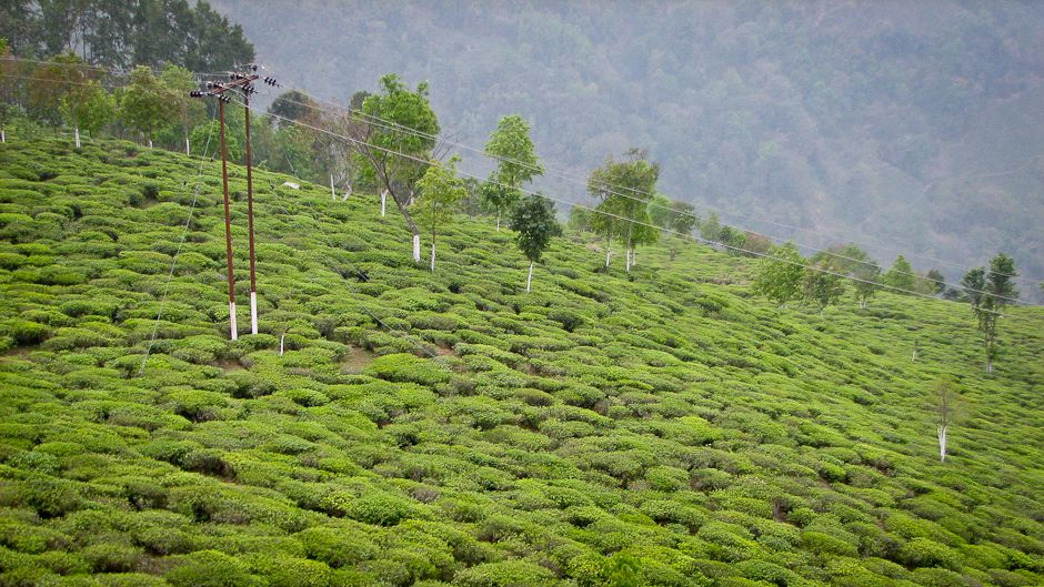 the-tea-forests-of-yunnan-2