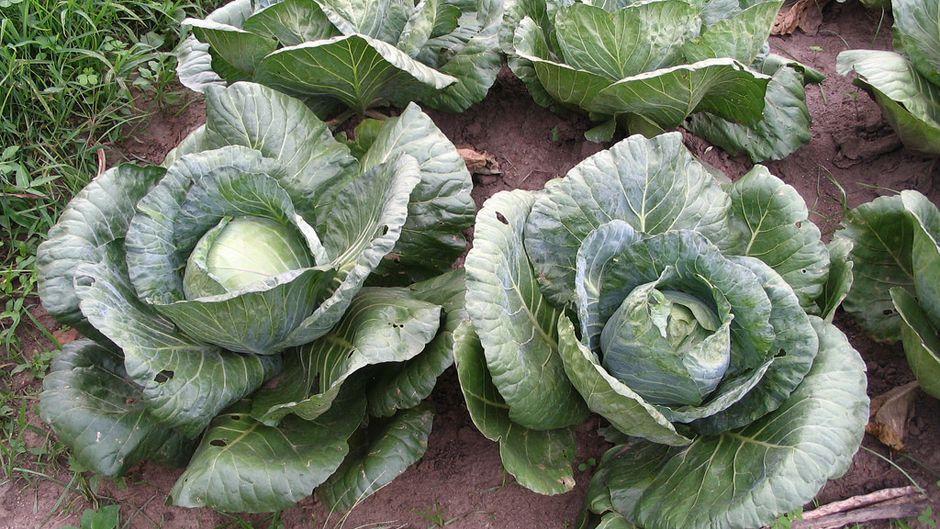 fertilised cabbage