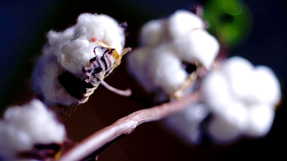 China cotton pest outbreak prompts GM review