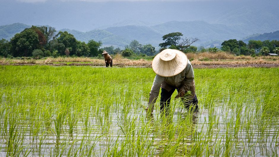 Thailand's rice farmers adapt to climate change