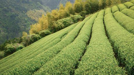 Shizuoka Tea Fields by Roberto Maxwell