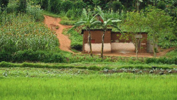 Rice farm in Rwanda