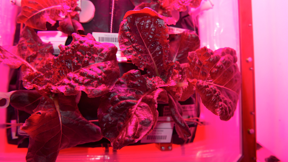 Outredgeous Lettuce grown on the International Space Station