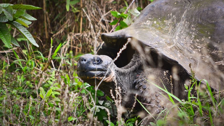 Galápagos Giant Tortoise Saved From Extinction