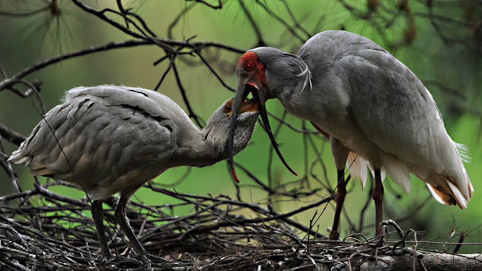 During 1994-2000, the Asian Crested Ibis (Nipponia nippon) has been downlisted from Critically Endangered to Endangered. Photo © Mike Endres, Little Wing Photo.