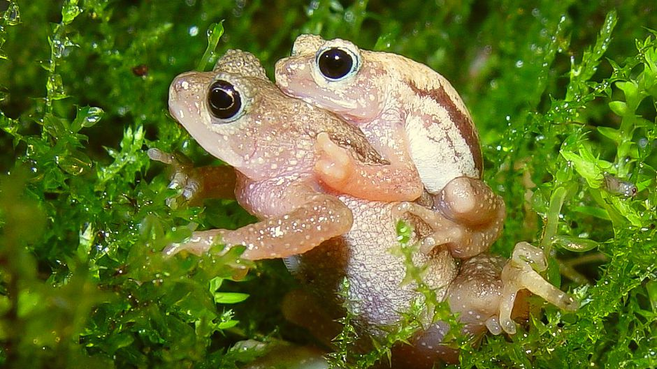 Kihansi Spray Toad (Nectophrynoides asperginis) is currently Extinct in the Wild, but is soon to be re-introduced into its natural habitat thanks to conservation efforts. Photo © Timothy Herman.