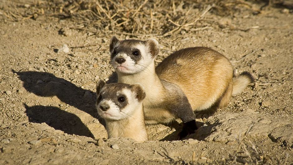 During the period 1996-2008, the Black-footed Ferret (Mustela nigripes) has been downlisted from Extinct in the Wild to Endangered. Photo: © Wendy Shattil & Bob Rozinski.