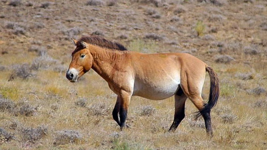Przewalskis Horse (Equus ferus przewalskii) has been downlisted from Extinct in the Wild to Critically Endangered for the 1996-2008 period. Photo © David Blank.