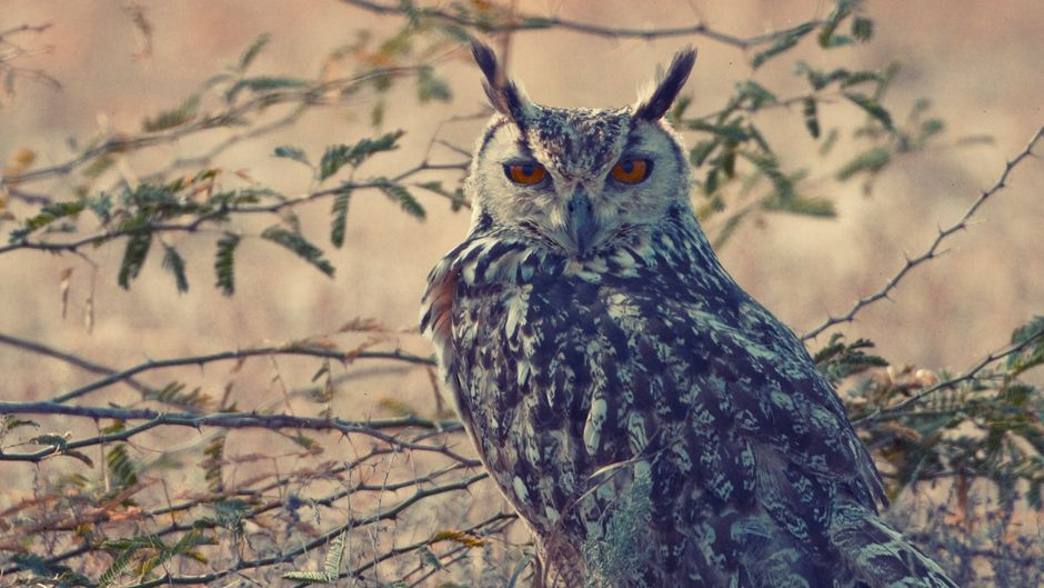 Illicit owl trade casts shadow on Diwali in India