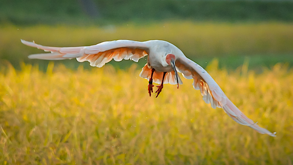 Japanese ibis. Photo copyright Sado City.