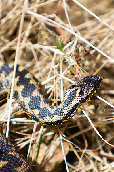 Adder (Vipera berus) in habitat at Pulborough Brooks, Sussex